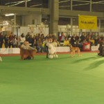 Nory running for BEST IN SHOW @ CACIB ZAGREB 2009