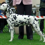Nory winning BEST OF BREED @ CAC VUKOVAR 2007